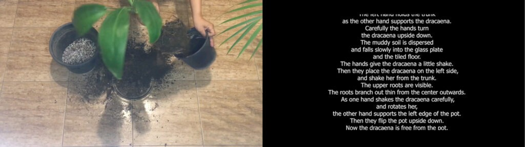 Screenshot of two side-by-side videos. The one on the left shows hands pouring soil into a pot with a small tree in it. The one on the right shows alt text of the video on the left using white text on a black background.